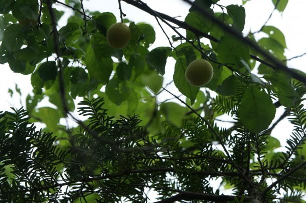 【季節の恵み】青梅と紫蘇を収穫しました。