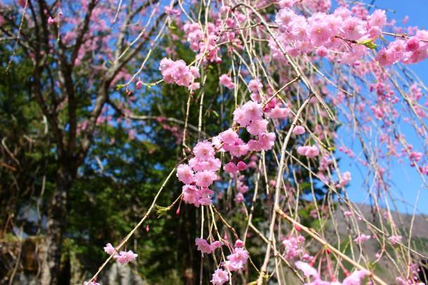 枝垂桜が見頃です。