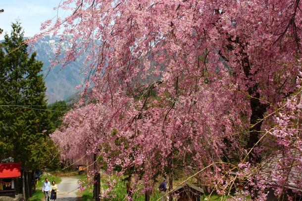 【桜情報】今年の桜は早咲きです。