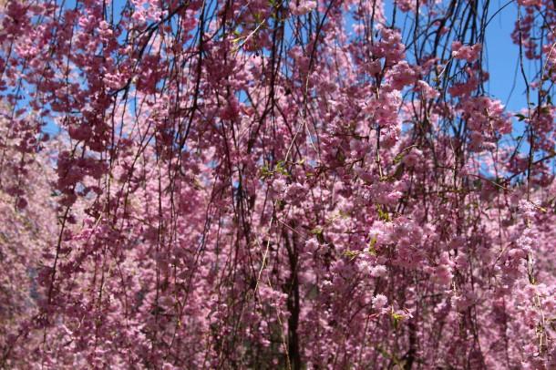 【桜情報】枝垂桜も見頃です。
