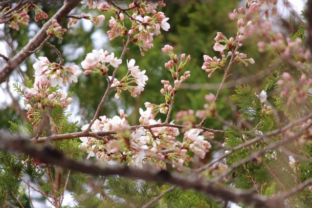 桜の花が咲きました。
