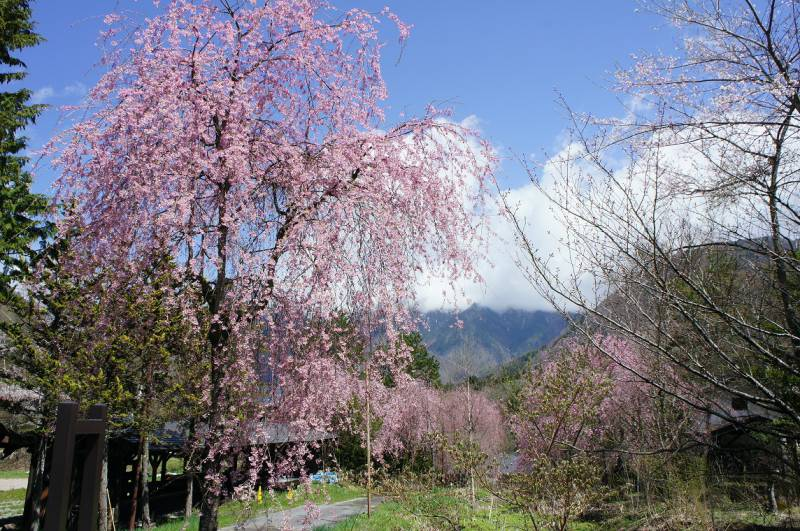 福地温泉 桜日和