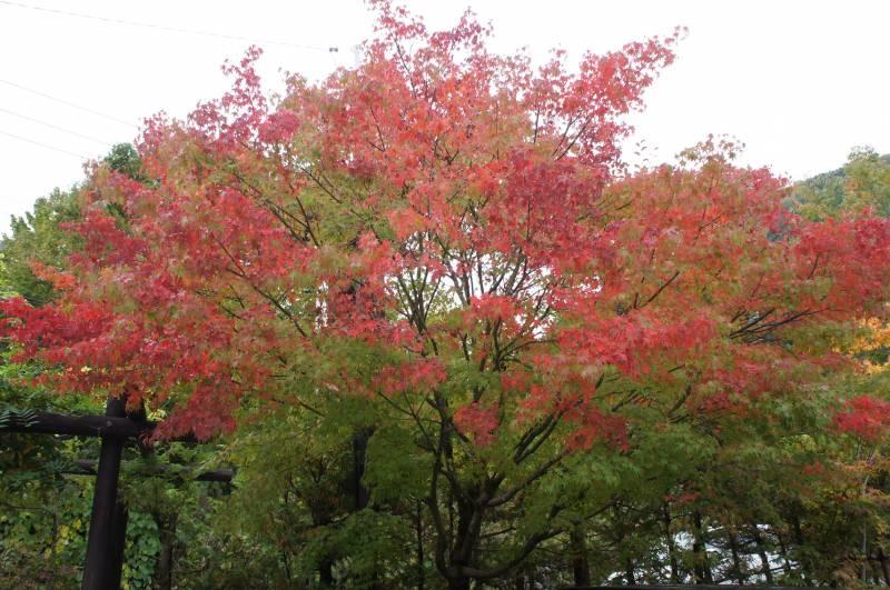 福地の紅葉⑤