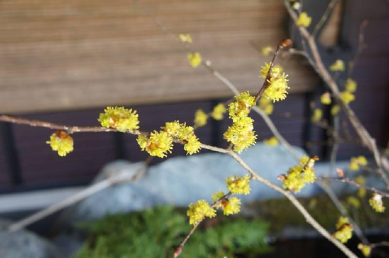 まるまるとしたダンコウバイの花