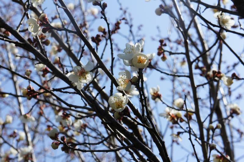 梅の花が開花しました✿
