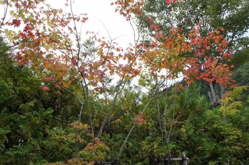小さい木はすでに赤く色づいています