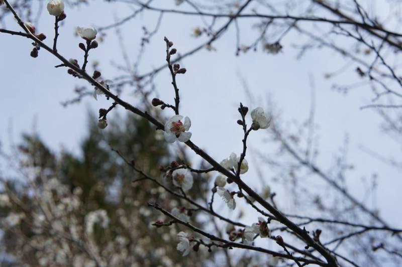 梅も開花しました✿