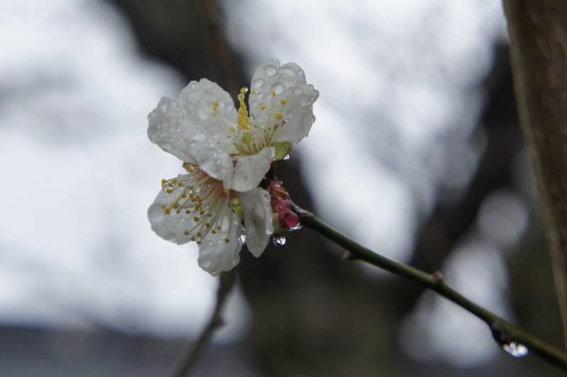 福地温泉~今年の桜開花予想~