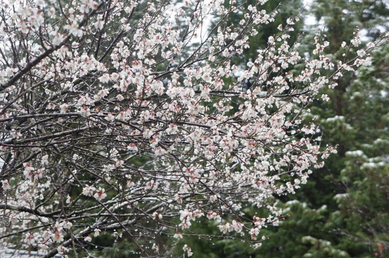 春の開花情報・桜❀