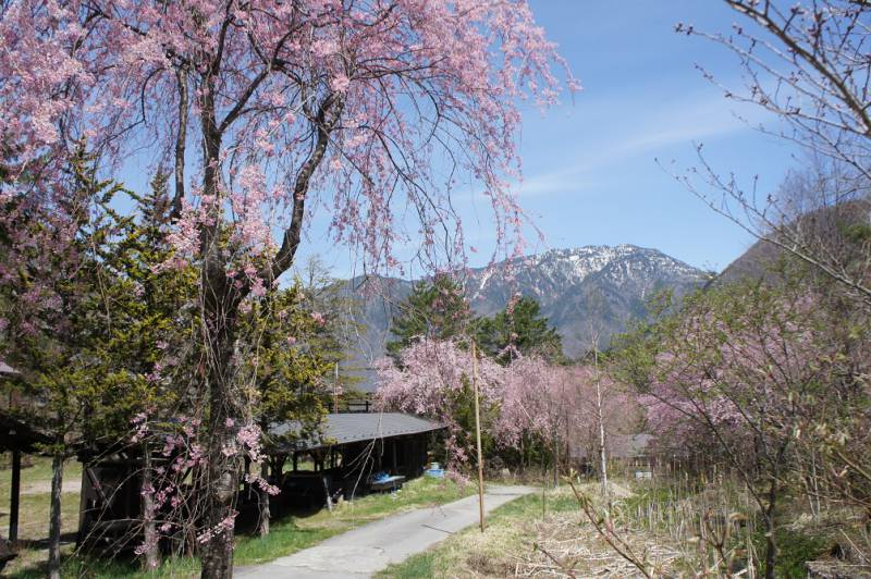 桜が開花しました❀