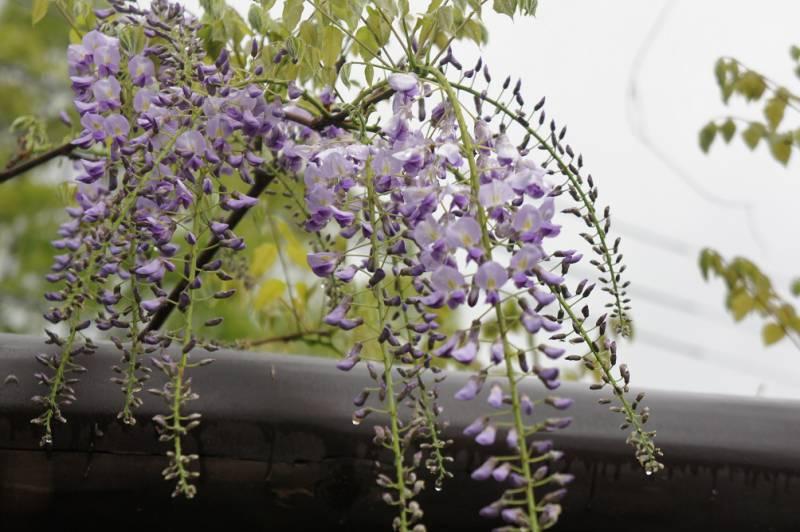 藤の花と共に歓迎いたします