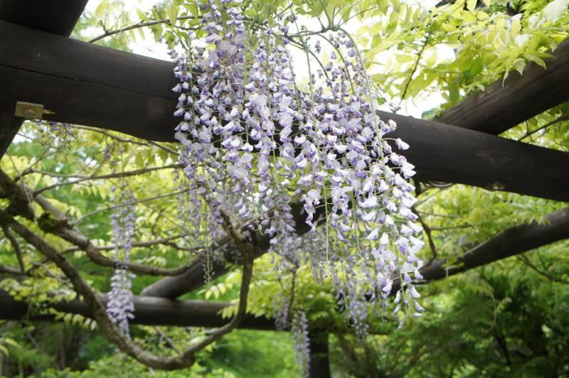 藤の花もまだきれいに咲いています