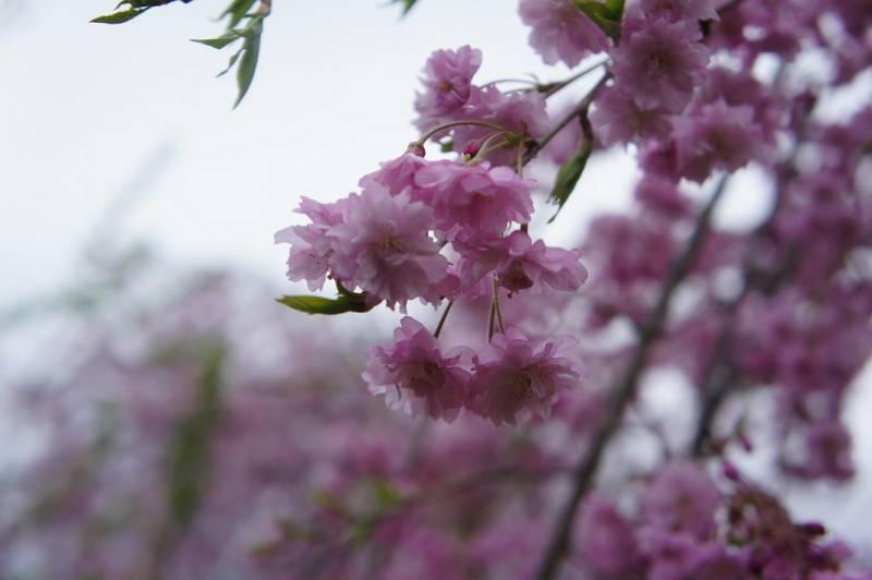 奥飛騨の桜、満開です