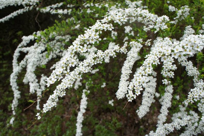 白くて雪のような雪柳の花