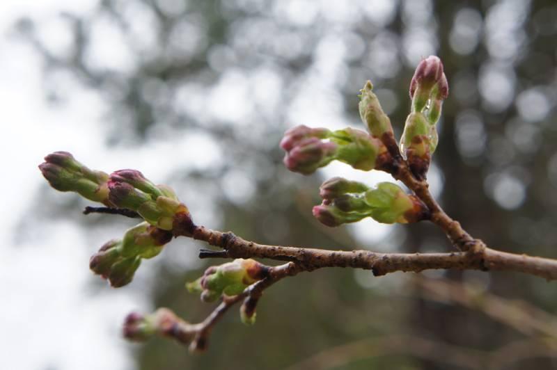 4月14日の桜のつぼみ
